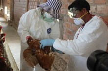 Vaccinating chicken